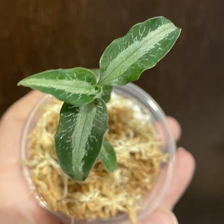 Photo of the plant species Jewel Orchid by Megano named Felix on Greg, the plant care app
