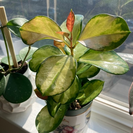 Photo of the plant species Hoya 'Lisa' by Irisberg named Lisa on Greg, the plant care app