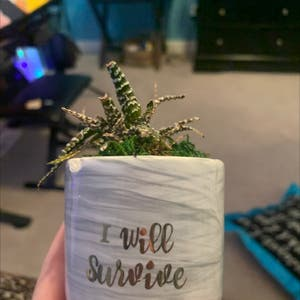 Rating of the plant Haworthia fasciata named Crispy Dan by Sophieee on Greg, the plant care app