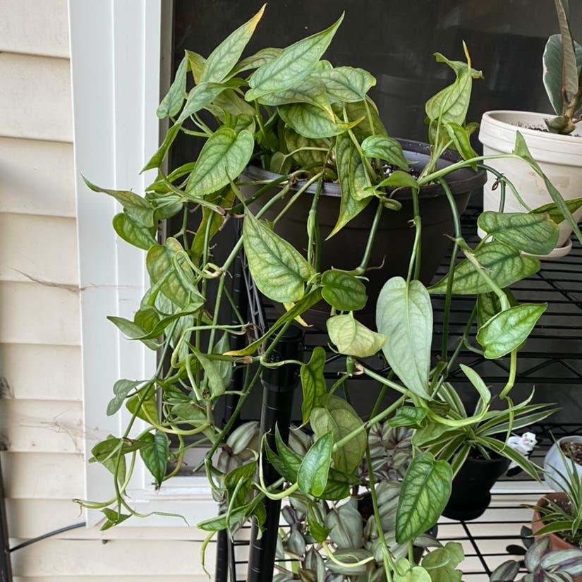 Silver Monstera plant