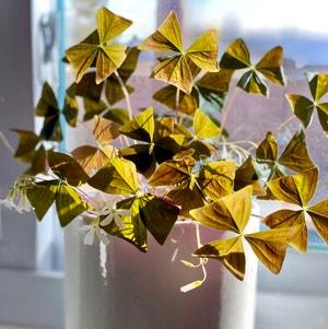 Purple Shamrocks plant photo by Jordanmshoop named Elton on Greg, the plant care app.