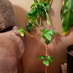 Arabian Coffee Plant plant