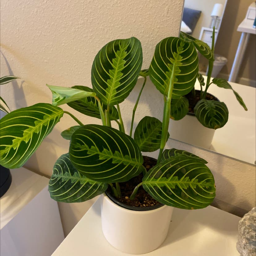 Photo of the plant species Green Prayer Plant by Ulabadula named Pat on Greg, the plant care app
