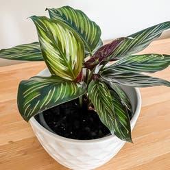 Calathea 'Beauty Star' plant