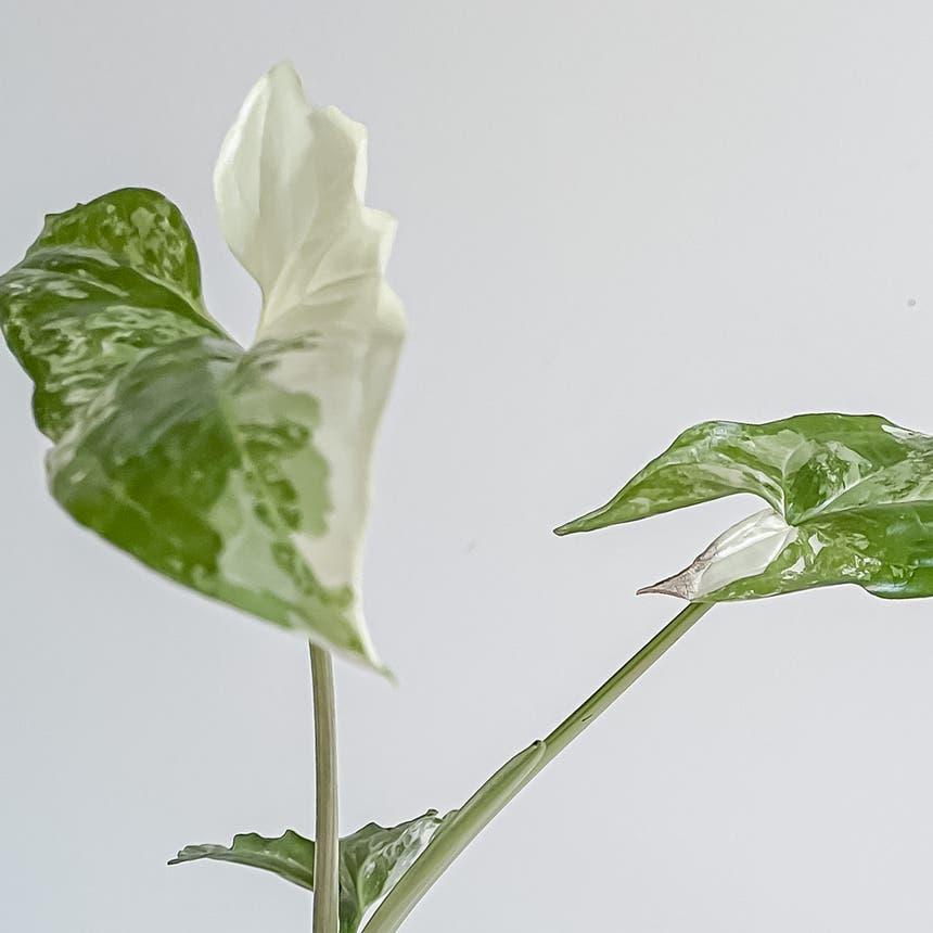 Fantasy Syngonium plant