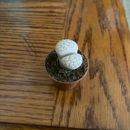 Photo of the plant species Lithops bromfieldii by Mfoge named Buttbrain on Greg, the plant care app