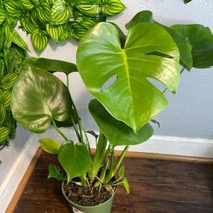 Philodendron Narrow Tiger Tooth plant photo by Sydney named Greenie on Greg, the plant care app.