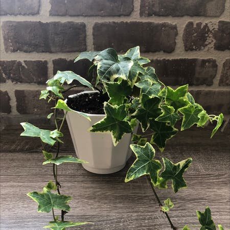 Photo of the plant species English Ivy by Bybobbyscott named Ivy on Greg, the plant care app
