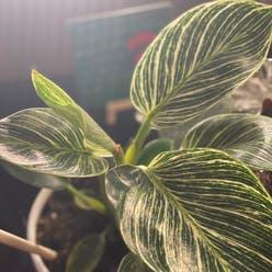 Philodendron 'Birkin' plant