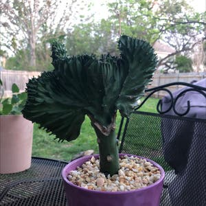 Crested Elkhorn plant photo by Olivia named euphoria on Greg, the plant care app.