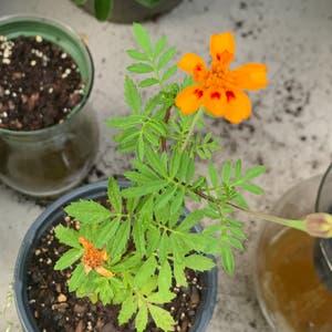 African Marigold plant photo by Loganburningbush named Antoinette on Greg, the plant care app.