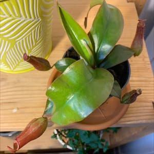 Tropical Pitcher Plant plant photo by Pocahontas named McKinley on Greg, the plant care app.