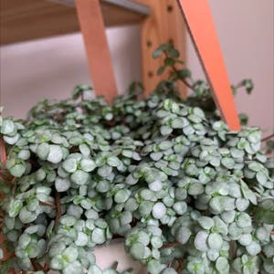 Rating of the plant Silver Sparkle Pilea named Kobe by Pocahontas on Greg, the plant care app