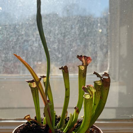 Photo of the plant species White Topped Pitcher Plant by Pocahontas named Fatso on Greg, the plant care app