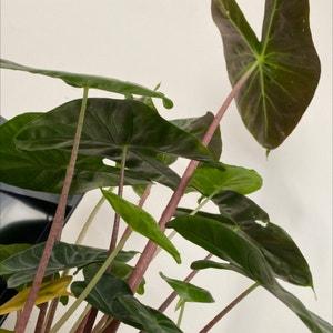 Taro plant photo by Kaeru named demeter on Greg, the plant care app.