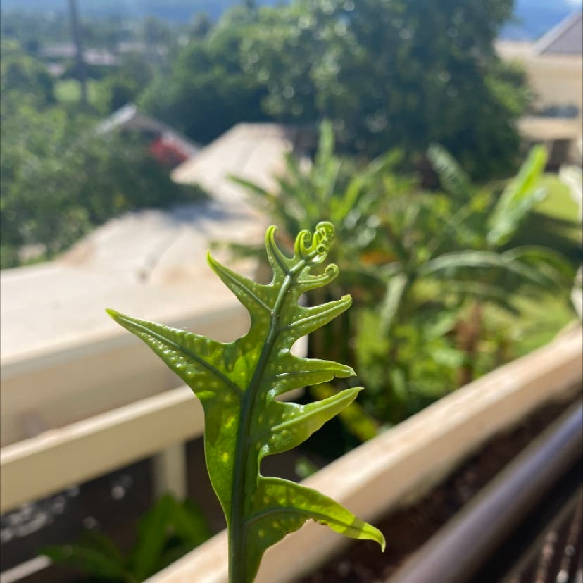 Photo of the plant species Triploid Fern by Faith named Maui on Greg, the plant care app