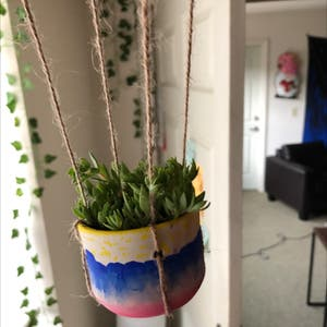 Stringy stonecrop plant photo by Katiesoasis named Balloon on Greg, the plant care app.