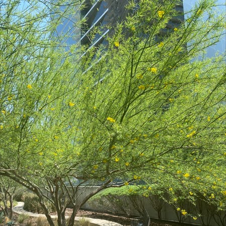 Photo of the plant species Parkinsonia by Mary named Your plant on Greg, the plant care app
