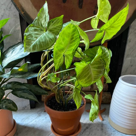 Photo of the plant species Golden Arrowhead Vine by Martin named Jeanie on Greg, the plant care app