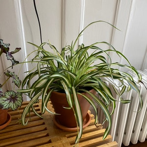 Variegated Spider Plant plant photo by Martin named Peter on Greg, the plant care app.