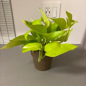 Rating of the plant Neon Pothos named Greeon 🖼 by Martin on Greg, the plant care app