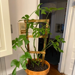 Rating of the plant Mini Monstera named Seth Grogen by Martin on Greg, the plant care app