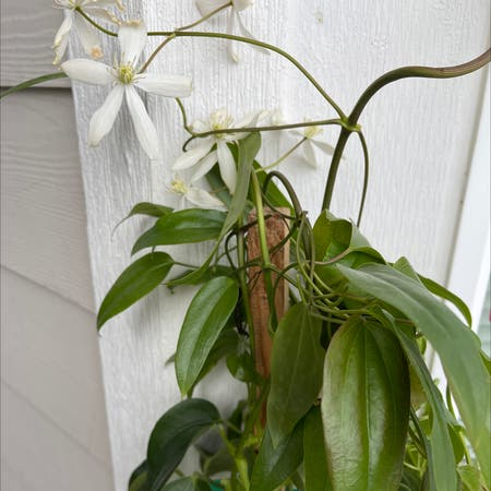 Photo of the plant species Armand Clematis by Libertyann named Clementine on Greg, the plant care app