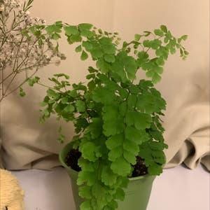 Maidenhair fern plant photo by Liz named Maidenhair Fern on Greg, the plant care app.