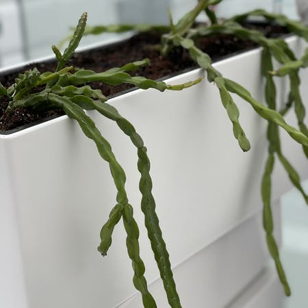 Photo of the plant species Rhipsalis paradoxa by Cementthumb named Sideshow Bob on Greg, the plant care app