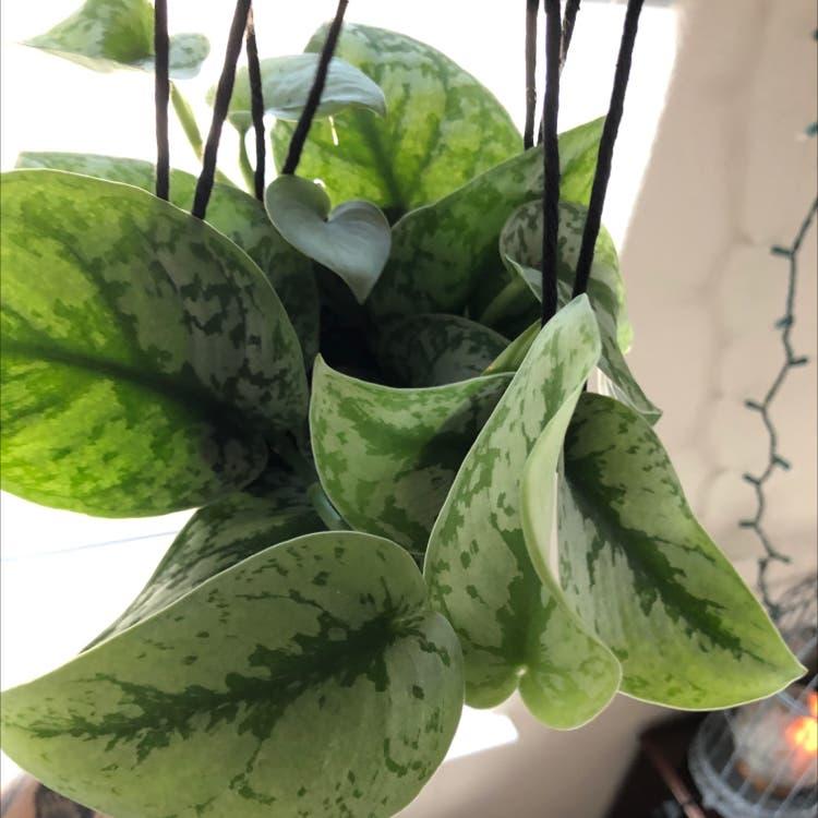 Photo of the plant species Aglaonema 'Silver Splash' by Shellbells named Freddie Mercury on Greg, the plant care app