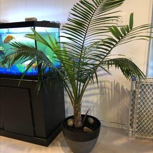 Majesty Palm plant photo by Plantsarecool named Arnold Palmer on Greg, the plant care app.