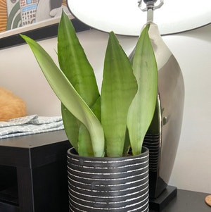 Silver Snake Plant plant photo by Drdrey named Fats Domino on Greg, the plant care app.