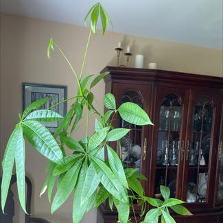 Money Tree plant in Somewhere on Earth