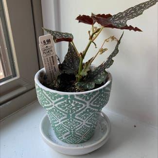 Polka Dot Begonia plant in Columbus, Ohio