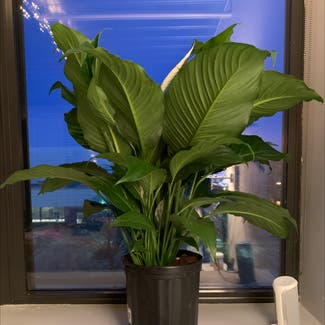 Peace Lily plant in Columbus, Ohio