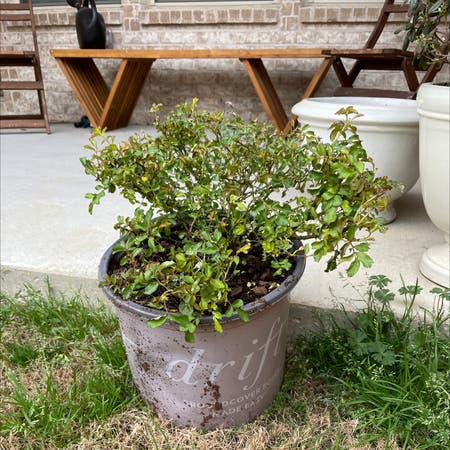 Photo of the plant species White Drift Rose by Molly2867 named Cash's Rose on Greg, the plant care app