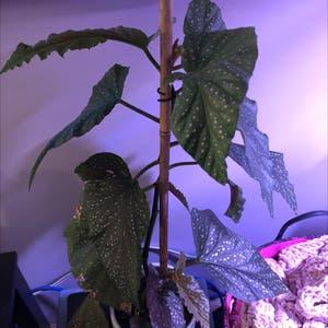 Polka Dot Begonia plant photo by Rachel named Nithin on Greg, the plant care app.