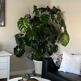 Monstera plant in Bluffdale, Utah