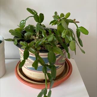 False Christmas Cactus plant in Bluffdale, Utah