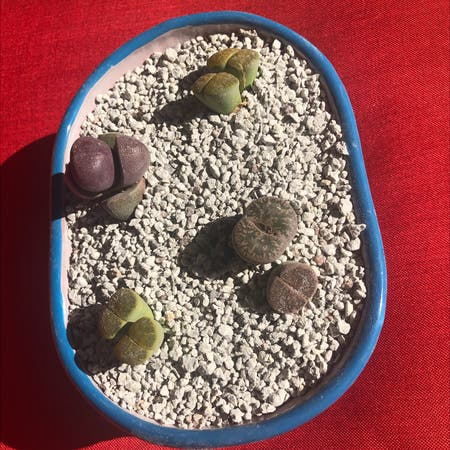 Photo of the plant species Albinica Living Stones by Kfab named The Rolling Stones on Greg, the plant care app