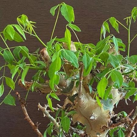 Photo of the plant species African myrrh by Crimsonriver named Ai on Greg, the plant care app