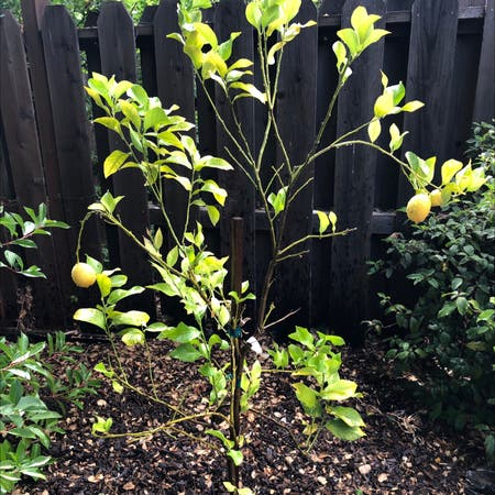 Photo of the plant species Hardy orange by Plantladykatie named Athena on Greg, the plant care app