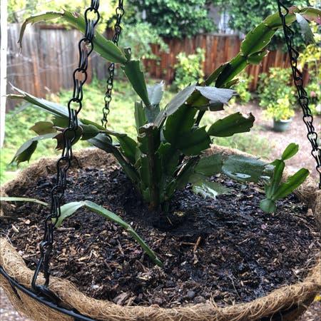 Photo of the plant species Hylocereus undatus by Plantladykatie named Rainier on Greg, the plant care app