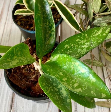 Photo of the plant species Hoya pottsii by Joanneplants named Hoya pottsii splash on Greg, the plant care app