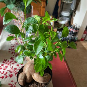 Rating of the plant Ficus Ginseng named Ficus by Miamilaw97 on Greg, the plant care app