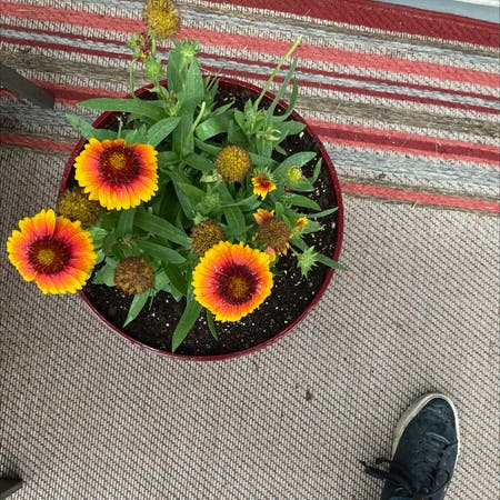 Photo of the plant species Gaillardia aristata by Miamilaw97 named Daisy on Greg, the plant care app