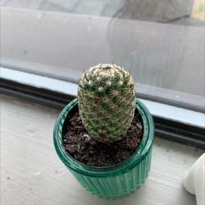 Lace Hedgehog Cactus plant photo by Thegingersgarden named Hedgehog Cactus on Greg, the plant care app.