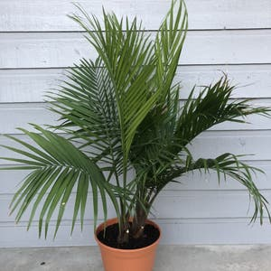 Rating of the plant Majesty Palm named Jasp by Skylerdean on Greg, the plant care app