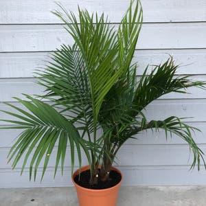 Majesty Palm plant photo by Skylerdean named Jasp on Greg, the plant care app.