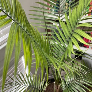 Rating of the plant Majesty Palm named Phillip by Lindsey on Greg, the plant care app